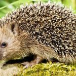 How You Can Help Save The Hedgehog Population