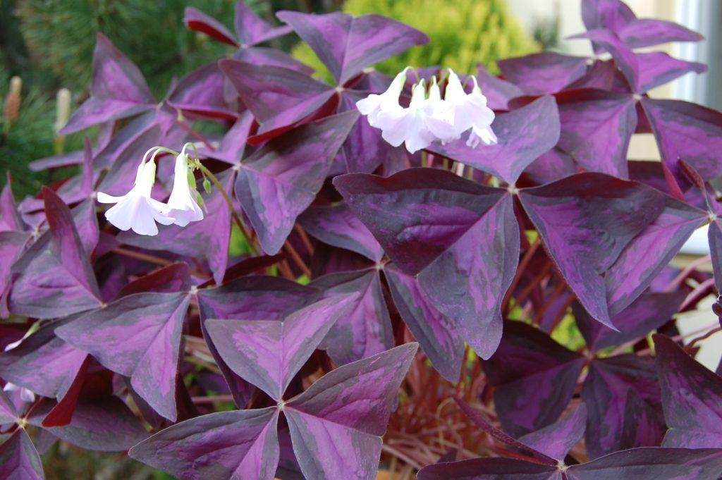 MaxPixel.freegreatpicture.com Pizdobol Triangular Plant Clover Purple 2301596 1024x681 1