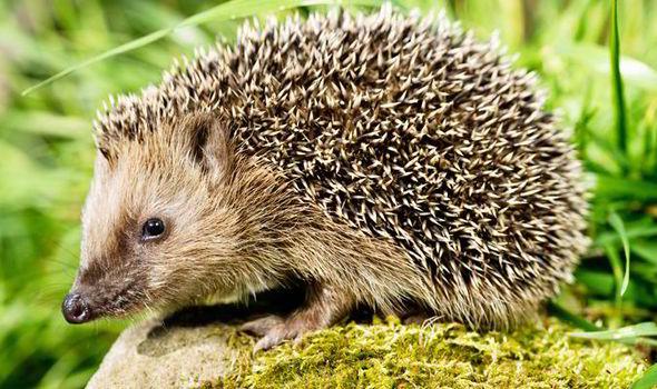 hedgehog garden RSPCA 573919