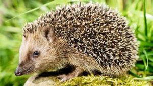hedgehogs feature
